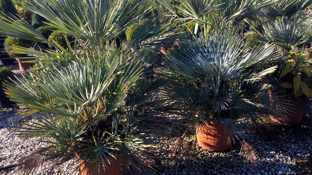 Chamaerops-humilis-palmacee-vivaio-Pistoia
