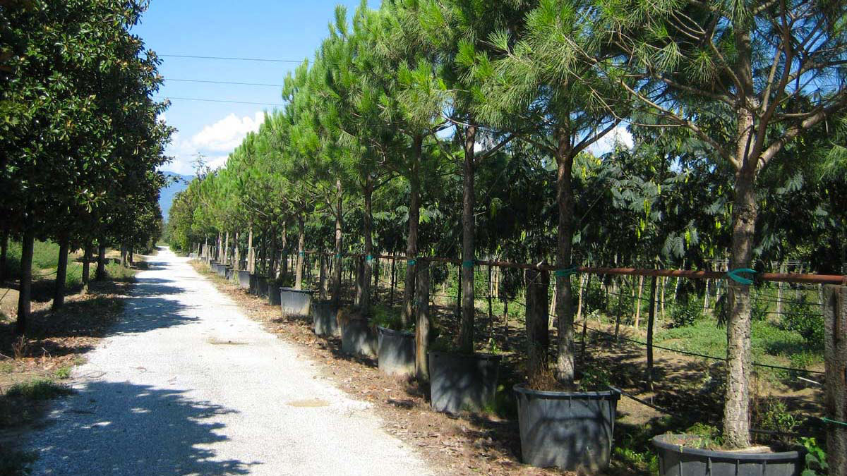 Pinus-pinea-Nadelbäume-Baumschule-Pistoia