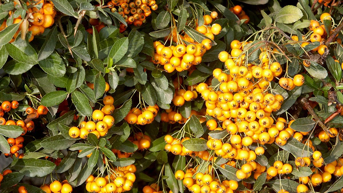 Pyracantha-Soleil-D'or-Exemplare
